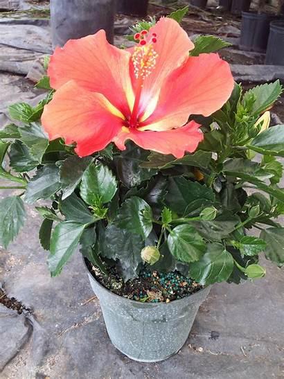 Hibiscus Tradewinds Pot Inch Plant Tropical Plants