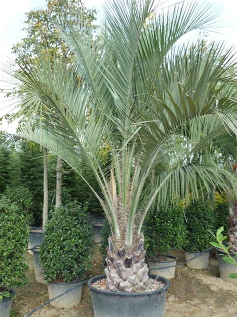 palmiers nains exterieur