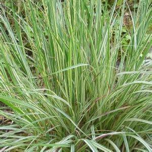 Molinia caerulea 'Variegata' - Zilganā molīnija