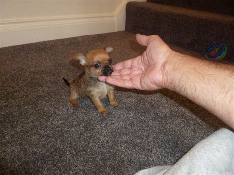 The gallery for --> Smallest Dog Breed In The World 2013