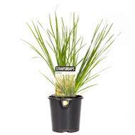 Grasses   Cordyline & Straf Leaf Plants At Bunnings