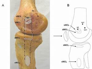 Morphology Of The Medial Collateral Ligament Of The Knee