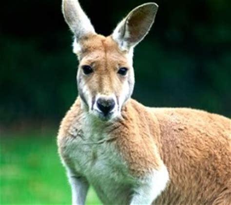 draw  kangaroo draw central