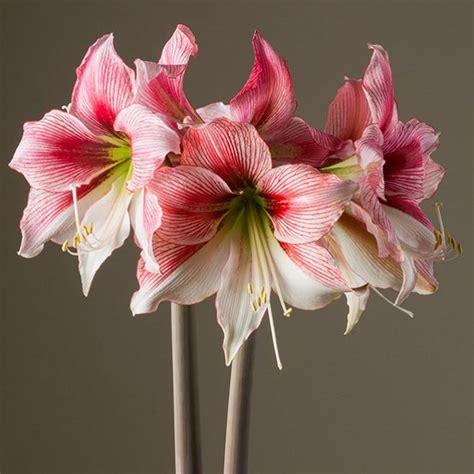 amaryllis glee amaryllis from israel easy to grow bulbs