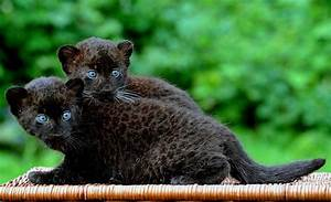 The Week in Pictures   Panther cub and Black panther