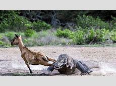 Vea a los dragones de Komodo, una de las 7 maravillas