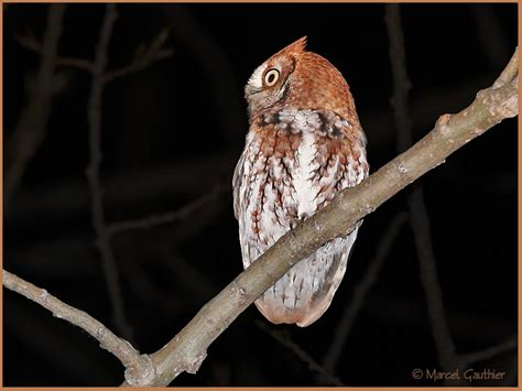 eastern screech owl otus asio naevius index gallery