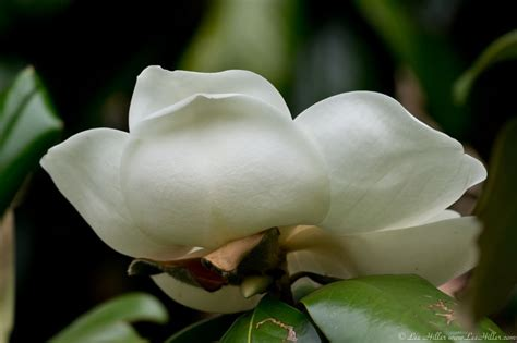 Southern Magnolia by Lee Hiller #Photography #Nature #