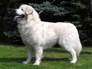 16 Big White Dog Breeds | Breed Guide - Dog Dojo