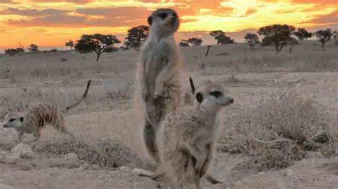 research suggests meerkat predator scanning behaviour