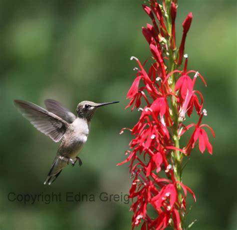 hummingbird flowers plant reproduction eye on nature