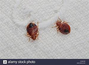 how many species of bed bugs With bed bug species
