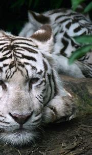 White tigers #whitetigers #tigers #nature #zoo # ...