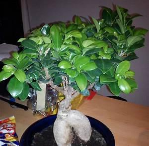 Ficus Ginseng Kaufen : pflege von bonsai pflege von bonsai besuch in der m hlviertler der ficus ginseng tipps zur ~ Sanjose-hotels-ca.com Haus und Dekorationen