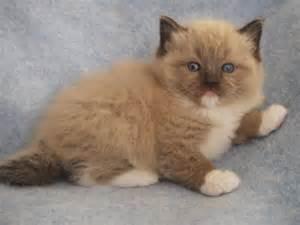 seal mink ragdoll cat breeder in virginia