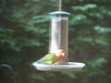 Parrot Feeder by Backyard Lovebird In Burns Park Spotted At Feeder It S