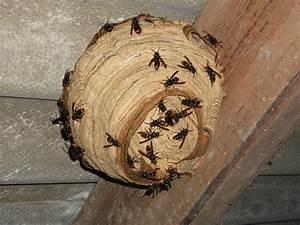 Essaim De Frelon : frelon asiatique comment d truire les nids au fusil de chasse ~ Melissatoandfro.com Idées de Décoration