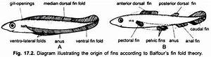 Fin System Of Fishes  With Diagram