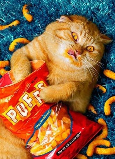 cat shold stop eating   alretty fat funny