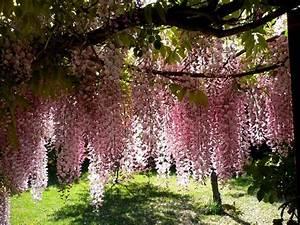 Rankgerüst Für Blauregen : kraut r ben forum blauregen wisteria sinensis ~ A.2002-acura-tl-radio.info Haus und Dekorationen