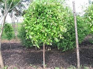 Gartensträucher Blühend Winterhart : salix caprea pendula salix caprea pendula kilmarnock willow tree hand salix caprea 39 pendula ~ Orissabook.com Haus und Dekorationen