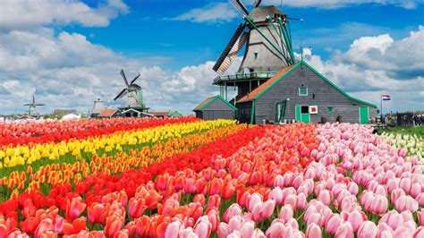 wallpaper tulips farm flowers colorful blue sky