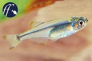 Wie Lange Braucht Eine Rollmatratze Um Sich Zu Entfalten : flittersalmler tyttocharax zwergfische f r das aquarium ~ Fotosdekora.club Haus und Dekorationen