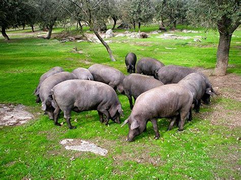 cuisiner le cochon porc archives les carnets de normann
