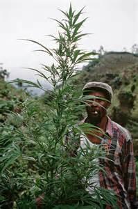 Jamaica Ganja Farmer