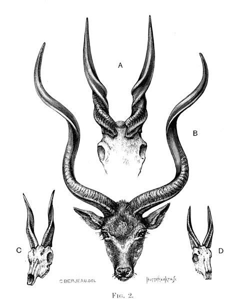 gazelle horn illustrations tattoos deer skull art