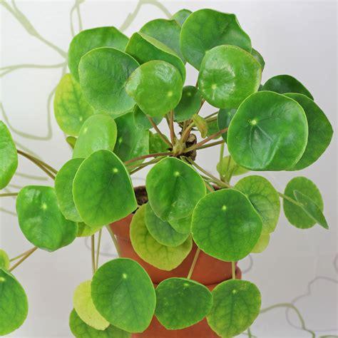 Zimmerpflanzen Datenbank Kanonierblume by Kanonierblume Zuk 252 Nftige Projekte Plants Plant Leaves