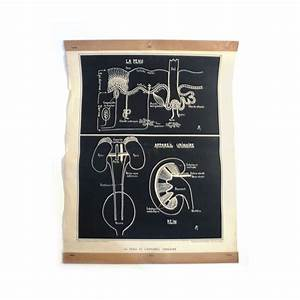 Anatomy Chart  Vintage Black  U0026 White Urinary System And