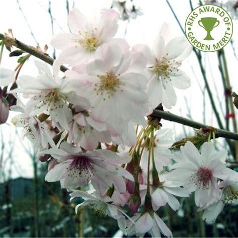 white flowering cherry tree varieties prunus x subhirtella autumnalis winter flowering cherry tree