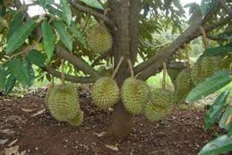 budi daya pohon durian  boyolali republika