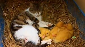 Baby Ducklings And Kittens | www.imgkid.com - The Image ...