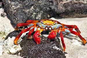 Sally Lightfoot Crab Galapagos Islands On