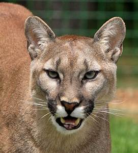 Cougars Spotted Repeatedly On Vashon