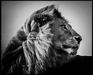 Tableau Lion Noir Et Blanc : photograph lion in the wind 3 laurent baheux yellowkorner ~ Dallasstarsshop.com Idées de Décoration
