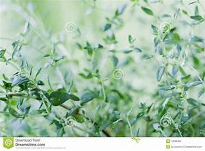 Fresh Thyme Leaves Royalty Free Stock Image - Image: 13296396