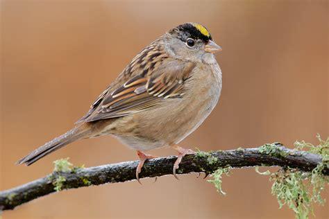 golden crowned sparrow 6