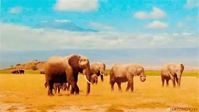 Elephant Africa Elefante Gifs Trunk Animal Elephants