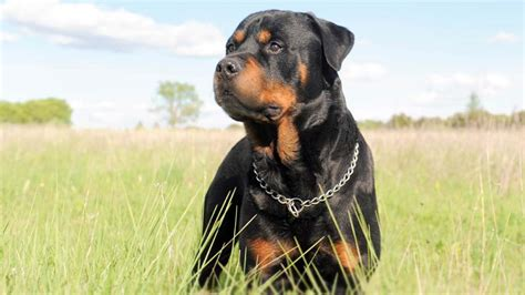 rottweiler information characteristics facts names