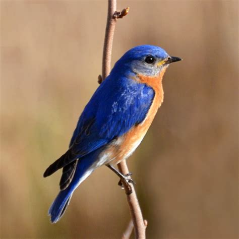 eastern bluebird facts diet habitat pictures on
