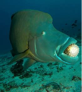 energy humphead wrasse
