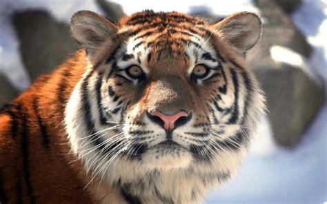 harimau hd wallpaper desktop lebar definisi tinggi