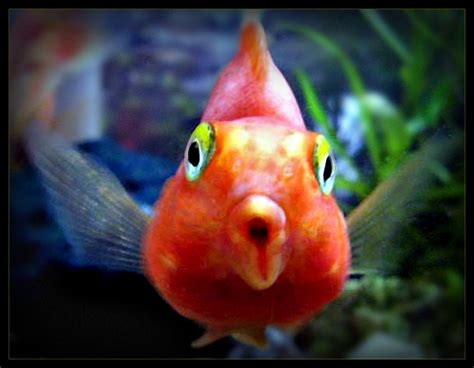 blood parrot fish suzy homefaker blood red parrot fish