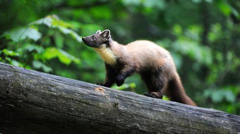wo leben marder tiere im wald tierwelt tierwelt natur planet wissen