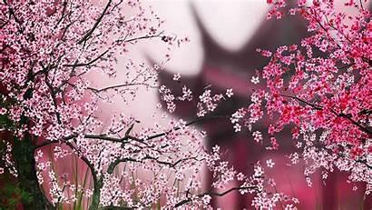 Sakura Wallpapers Px Google App Cave