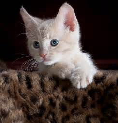 kitty cat pictures free photo kitty cat kitten pet animal free image