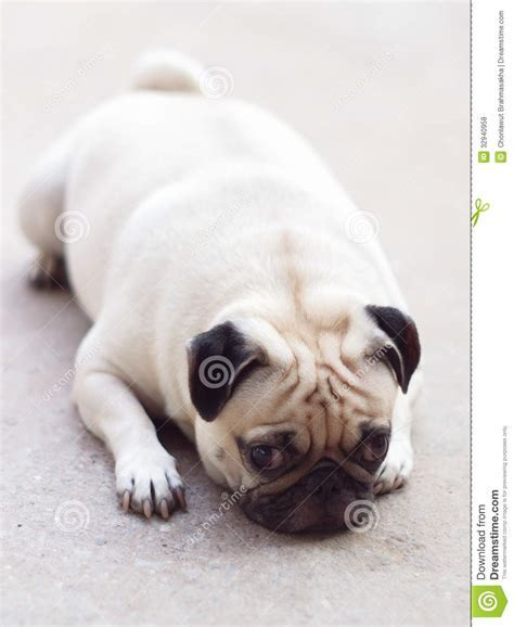 White Pug Dog Laying On A Floor Stock Photo   Image: 32940958